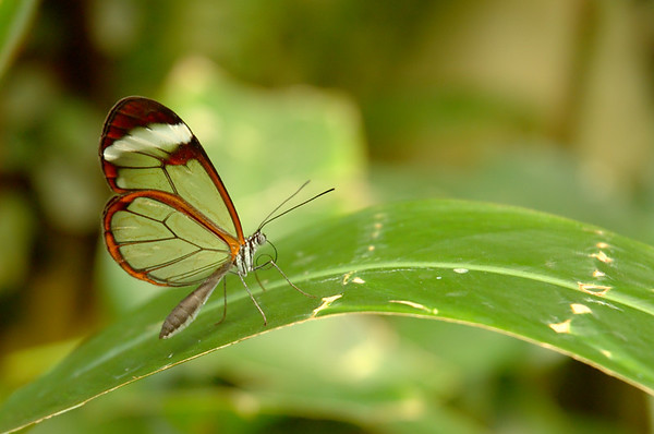 Greta oto | Glasswing