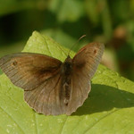 Maniola jurtina ♂ | Bruin zandoogje - Meadow brown