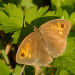 Maniola jurtina ♀ | Bruin zandoogje - Meadow brown