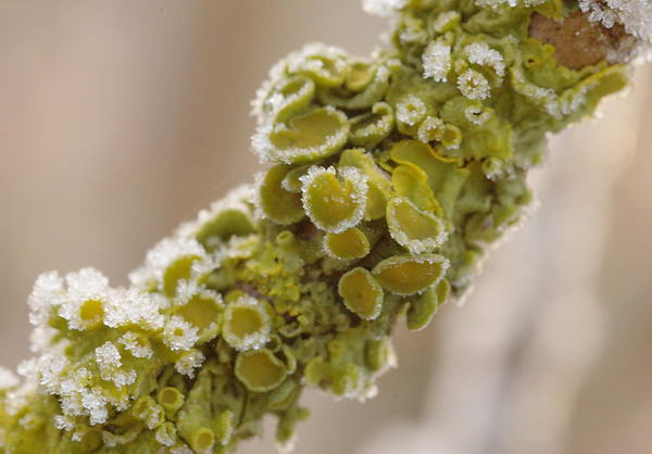 Xanthoria parietina | Groot dooiermos - A lichen without an English name