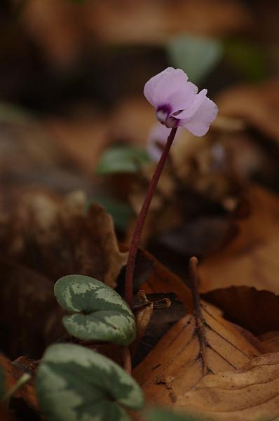 Cyclamen coum | Rondbladige cyclamen - Spring cyclamen