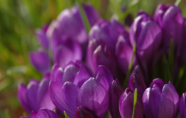 Crocus sp.