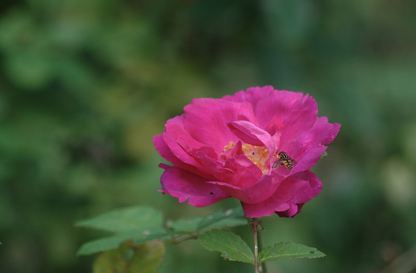 Rosa gallica var. officinalis | Apothekersroos - Apothecary's Rose / Red Rose of Lancaster