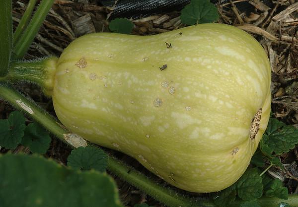 Cucurbita moschata 'Butternut'
