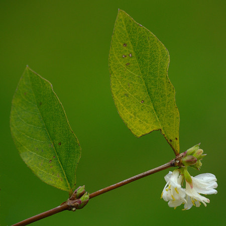 Lonicera fragrantissima | Winterkamperfoelie - Shrubby Honeysuckle