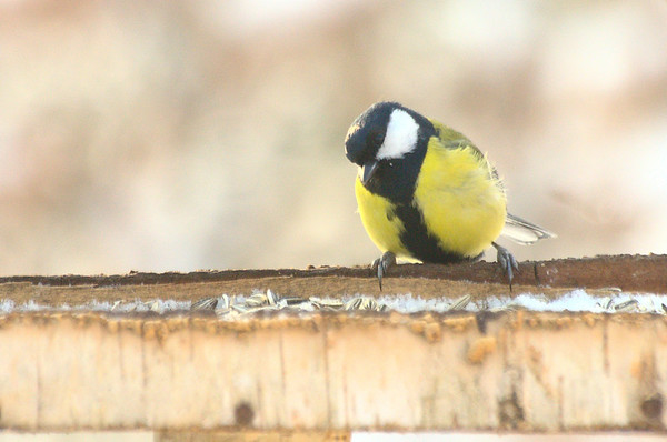 Parus major | Koolmees