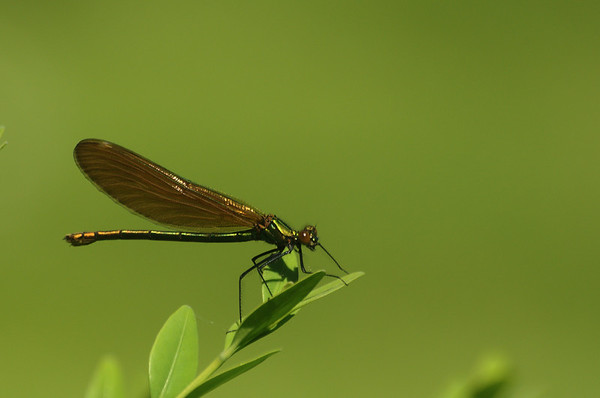 Calopteryx virgo | Bosbeekjuffer - Beautiful Demoiselle