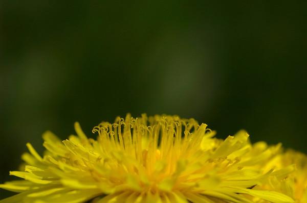 Taraxacum officinale | Paardenbloem - Dandelion