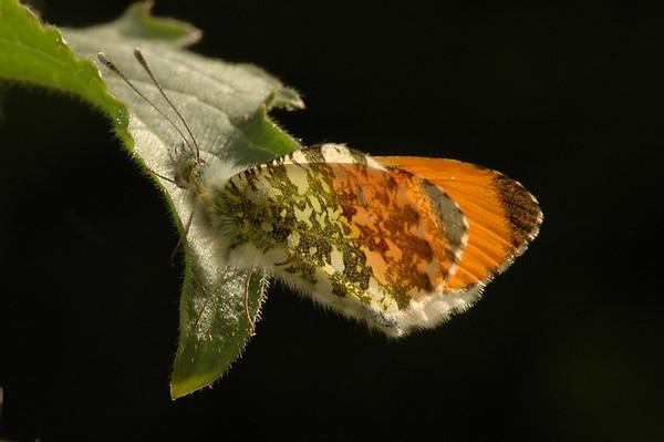 Anthocharis cardamines | oranjetip - orangetip
