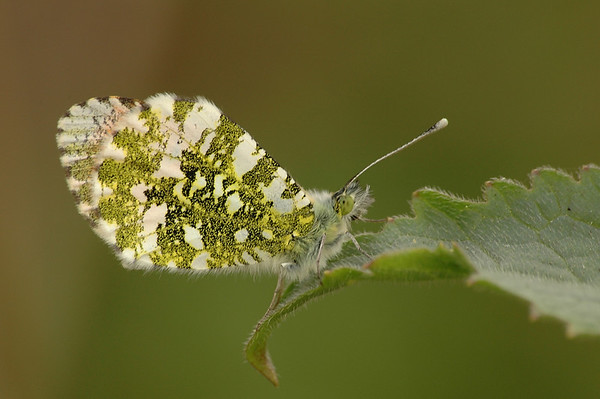 Anthocharis cardamine | Oranjetip - Orange tip