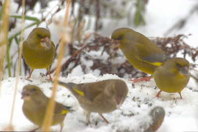 Carduelis chloris | Groenling - European greenfinch
