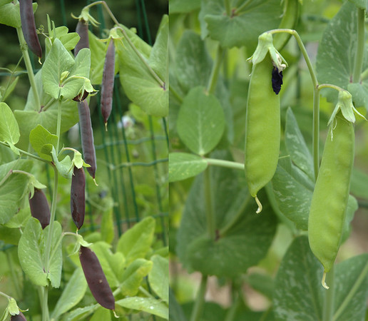 Pisum sativum | Capucijners en peultjes - Marrowfat peas and Snow peas