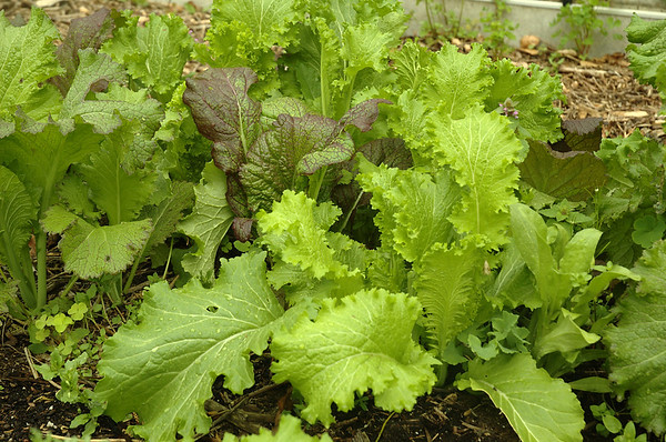 Een spontaan slabedje | A self-sown lettuce-patch