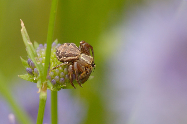 Onbekend spinnetje - Unknown spider