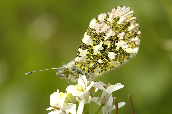 Anthocharis cardamines / Alliaria petiolaris | Oranjetip op look-zonder-look - Orange-tip on Garlic Mustard