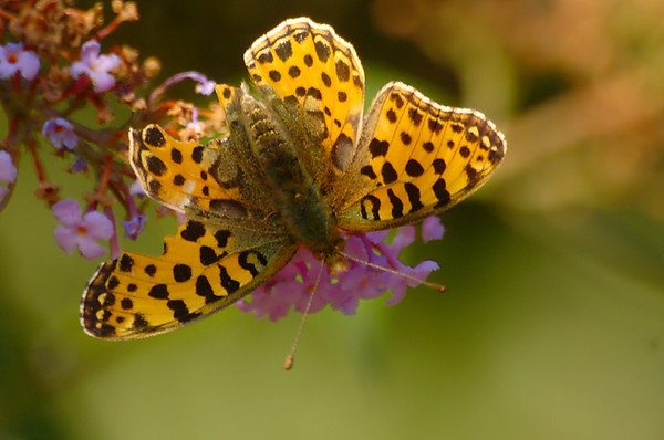 Issoria lathonia | Kleine parelmoervlinder - Queen of Spain Fritillary