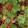 Geranium molle | Zachte ooievaarsbek - Dove's foot cranesbill