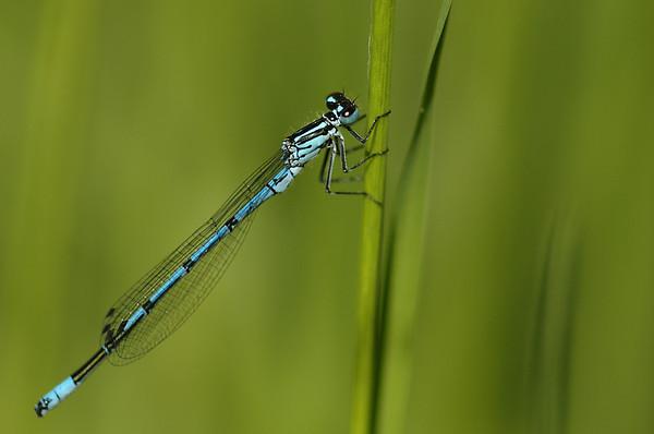 Coenagrion puella | Azuurwaterjuffer - Azure damselfly