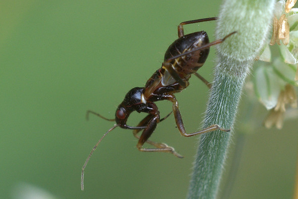 Miersikkelwants - Himacerus mirmicoides (nimf)