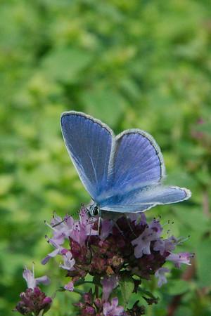 Icarusblauwtje - Polyomatus icarus ♂