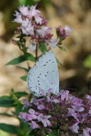 Boomblauwtje - Celastrina argeolus