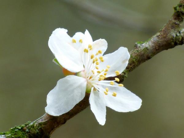 mirabelle   prunus domestica subsp. syriaca)