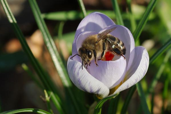 Bonte krokus - Crocus vernus | Honingbij - Apis mellifera