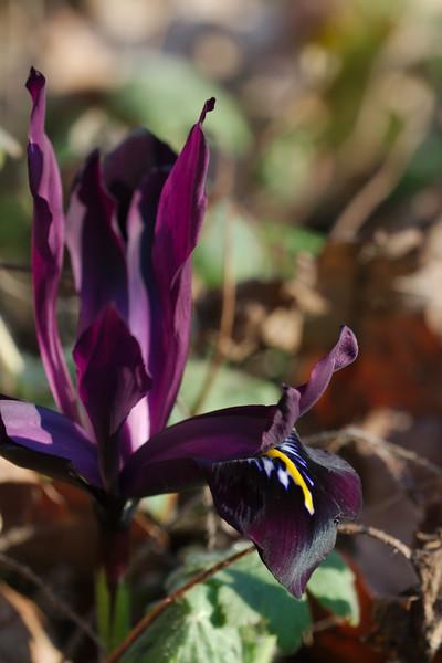 Iris reticulata 'Georges'
