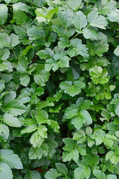 Zwartmoeskervel - blad