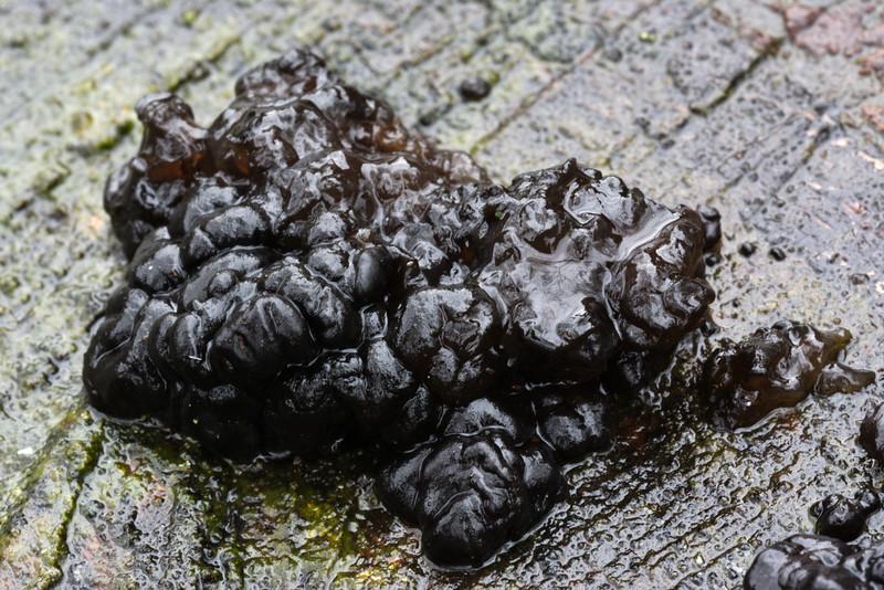 Zwarte trilzwam | Exidia plana bij regenweer