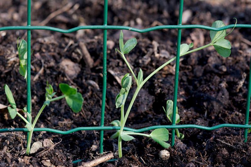 jonge erwtenplantjes