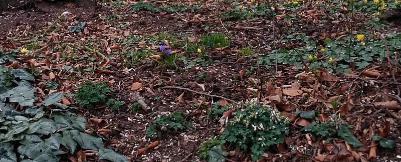 schamele bloei onder de beuk in maart