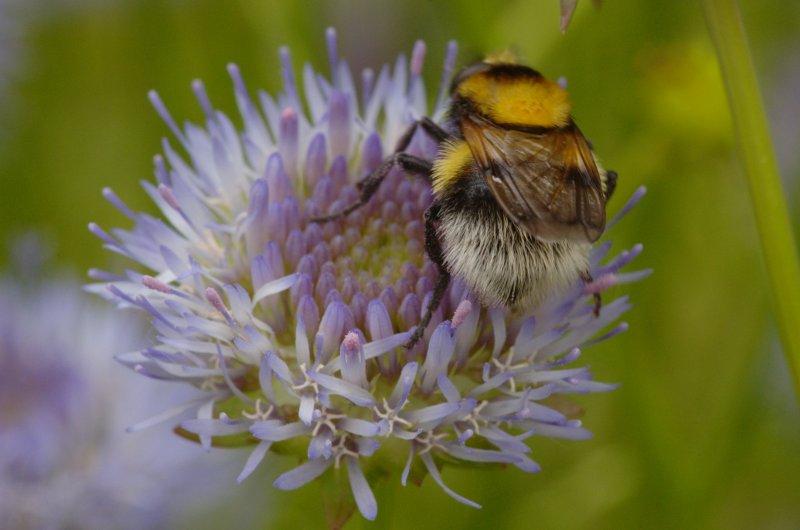 Volucella bombylans | Hommelreus, hommelvlieg - Hoverfly