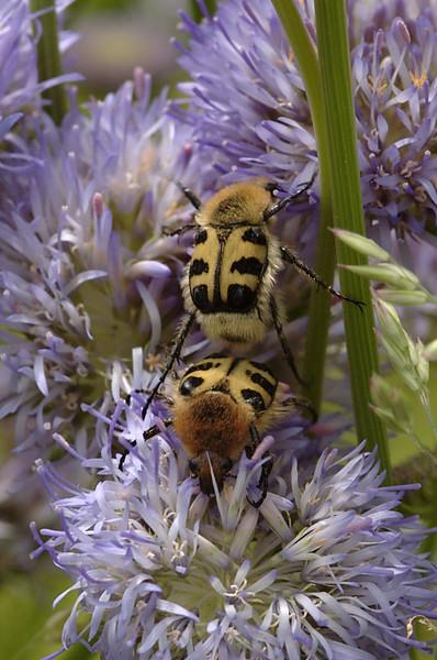 Trichius zonatus | Penseelkever -Bee beetle