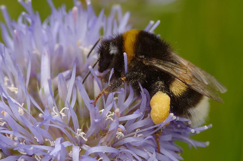 Bombus lucorum | Veldhommel - White-tailed Bumblebee