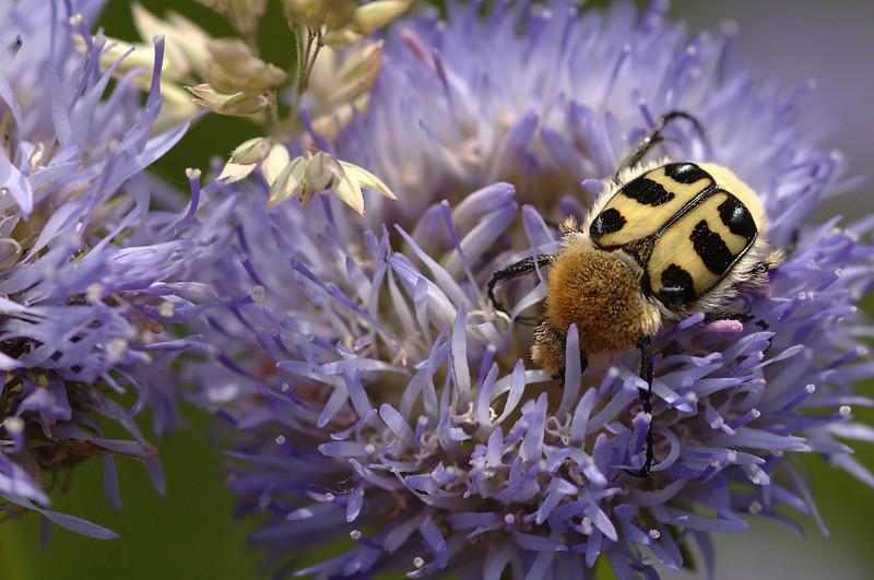 Trichius zonatus | Penseelkever - Bee beetle