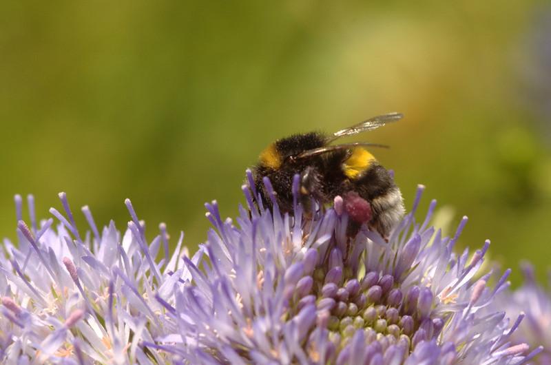 Bombus lucorum | Veldhommel - White-tailed Bubmblebee