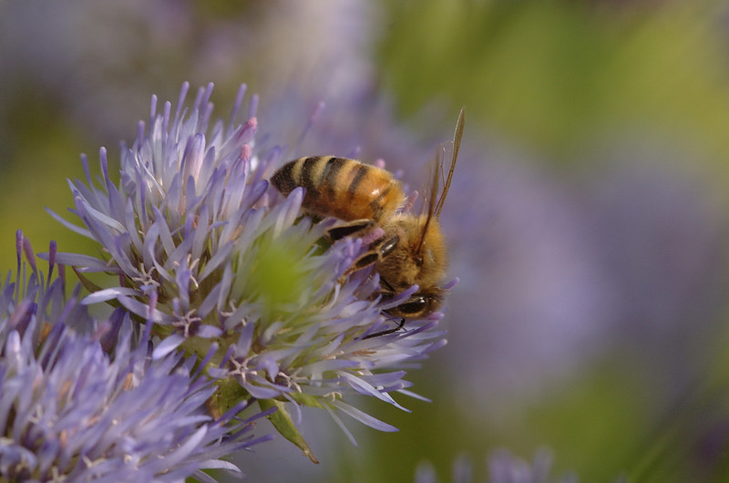 Apis mellifera | Honingbij - Honeybee