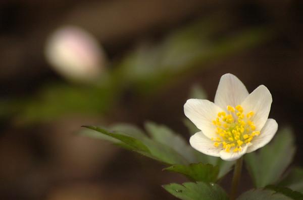 Anemone nemorosa | Bosanemoon - Wood anemone, Windflower