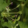 Erodium manescavii | Manescaurds reigersbek - Heronsbill