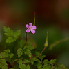Geranium robertianum | Robertskruid - Herb robert